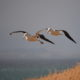 Vogelfotografie: Zwei Albatrosse