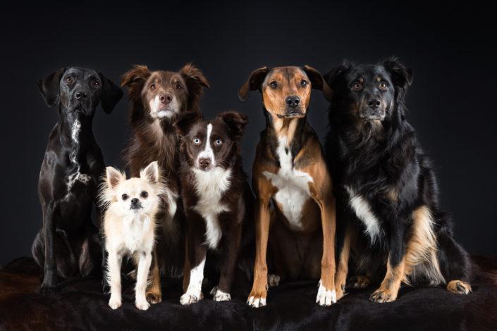 Hundegruppe, fotografiert im Studio.